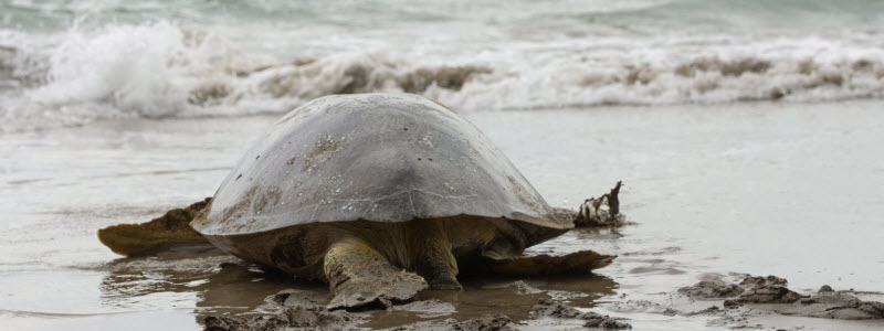 Green Sea Turtle Lays Eggs Before Passing Away
