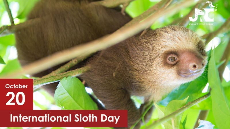On International Sloth Day we released four two-toed sloths