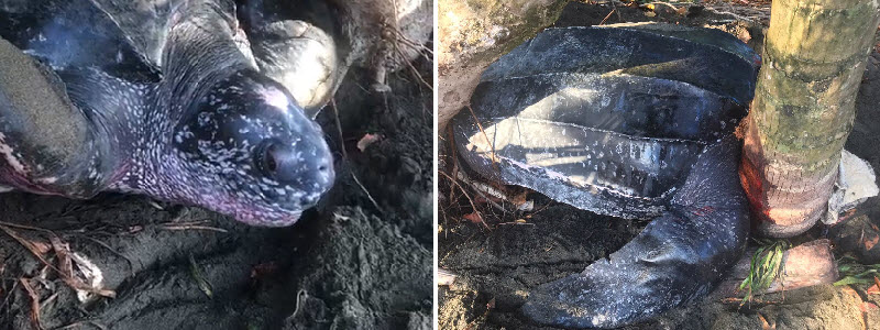Leatherback sea turtle stuck at the beach encounters a happy ending!